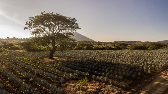 A centuries old tradition is cultivated on the Maestro Dobel agave fields in Jalisco, Mexico